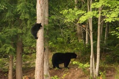 Zwarte beren in Québec